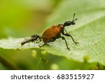 Small photo of The hazel-leaf roller weevil (Apoderus coryli) sits on a piece of wood. Behind the beetle is a winged ant.