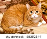 Portrait  Redhead Cat Color