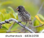 A Darwin's Finch  Also Known A...