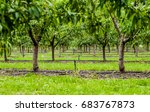 Peaches Orchard