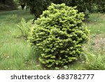 Small photo of Abies lasiocarpa 'Green Globe'