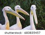 Closeup Of Three Great White...