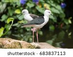 Small photo of Pair of black-winged stilt (Himantopus himantopus). Long-legged wader in the family Recurvirostridae, aka common or pied stilt