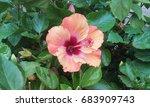 hibiscus jaswand plant | Shutterstock . vector #683909743