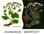 alchemilla vulgaris  common... | Shutterstock .eps vector #684055147