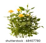Stock photo yellow mini rose bush isolated on white background 68407780