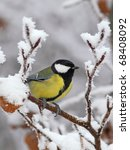Great Tit On A Snowy Branch ...