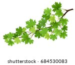 maple branch with green leaves. ... | Shutterstock .eps vector #684530083
