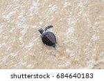 Baby Sea Turtle Walks In The...