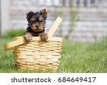 Stock photo yorkshire terrier puppy outside yorkie in the basket 684649417