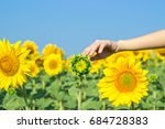 A Girl Touches A Sunflower In ...