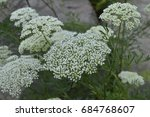 Small photo of Aethusa cynapium - poisonous plant with white flowers