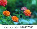 roses in garden | Shutterstock . vector #684807583