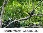 keel billed tucan perched on a... | Shutterstock . vector #684809287