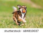 chihuahua pekinese hybrid runs... | Shutterstock . vector #684810037