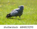 Small photo of Gymnogene bird of prey on sunlit grass. African harrier-hawk (Polyboroides typus). Majestic gray bird. Beautiful nature image.