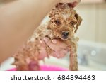 cute brown poodle puppy close... | Shutterstock . vector #684894463