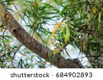 Small photo of Acacia confusa is a perennial tree native to South-East Asia.