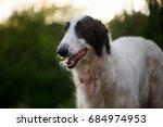 Dog Portrait. Cute Borzoi Dog...