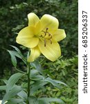 Small photo of Lilium 'Conca D'Or', Liliaceae family