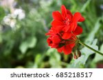 blooming red flower with a copy ... | Shutterstock . vector #685218517