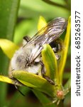 Small photo of Close-up of a fluffy Caucasian bee Andrena collecting pollen inside a yellow onion flower in early spring