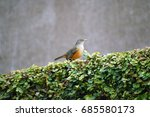 Rufous Bellied Thrush. Picture...