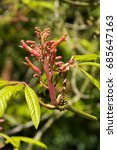 Small photo of Aesculus pavia var. flavescens