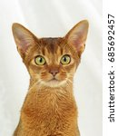 Small photo of ABYSSINIAN CAT