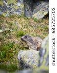 Small photo of Alpine marmot in wild