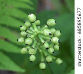 Small photo of Baneberry, aka Doll's Eye, still green