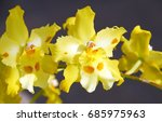 Small photo of Odontonia Yellow Orchid flower in bloom in spring