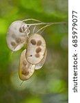 Closeup Of Lunaria Annun Seed...
