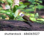 Small photo of Yellow-bellied Bulbul (Alophoixus phaeocephalus) standing on a log in nature with green background.