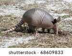 Young Nine Banded Armadillo...
