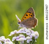 Small photo of A Small Copper aka American Copper aka Common Copper butterfly (Lycaena phlaeas) on pink yarrow (achillea millefolium)