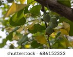 Ginkgo Biloba Leaves N Fruit I...