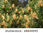 The Blooming Pine Tree Closeup...