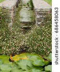 Small photo of Mexican Fleabane (Erigeron karvinskianus) Growing Around a Water Channel in a Country Cottage Garden in Rural Somerset, England, UK
