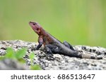 Small photo of The Namib rock agama (Agama planiceps) in african natural park