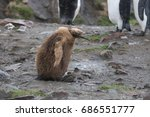 Small photo of King penguin chick walking against the wind
