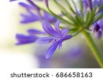 Close Up Of Agapanthus In Bloo...