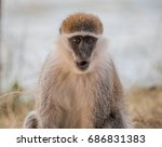 Small photo of African green monkey, Ethiopia