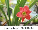 four red flowers are a popular... | Shutterstock . vector #687018787