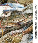 Small photo of background of live organic farmed ocean Portunus pelagicus blue flower swimmer manna sand crab rajungan ketam bunga with claws tied on display for sale at local fishing village tastes good for cooking