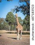 giraffe.   Shutterstock . vector #687183523
