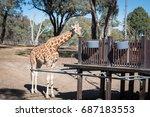giraffe eating.   Shutterstock . vector #687183553