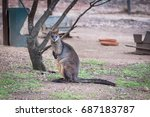 red necked wallaby  macropus...   Shutterstock . vector #687183787