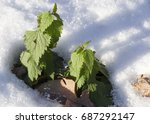 Photo Of Green Nettle And...