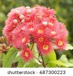 pink red flowers gum tree... | Shutterstock . vector #687300223